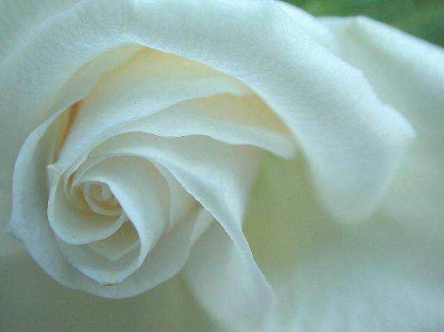 Spirals in an opening rose