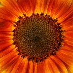 double spiral pattern in sunflower