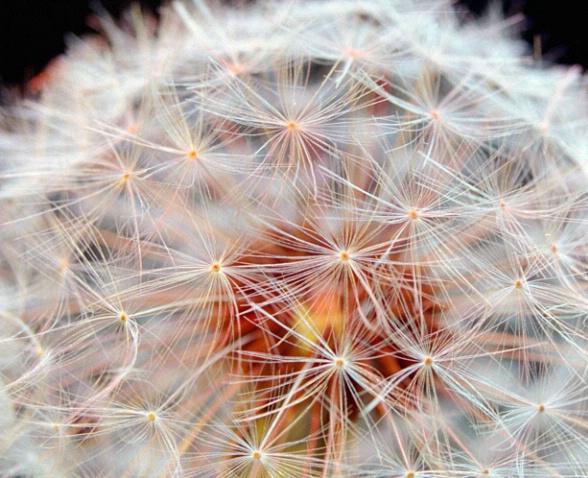 Dandelion Fractal Pattern