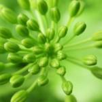Burst Pattern in Carrion Flower