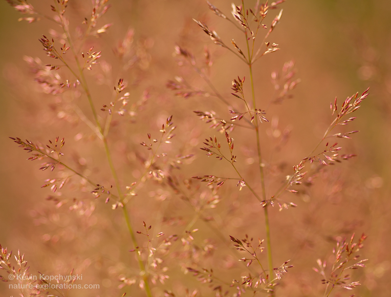 close-up of reddish grass seed heads