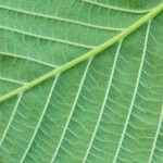Elm Leaf branching Pattern
