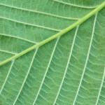 Elm Leaf branching Pattern