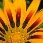 radiating burst pattern in gazania flower