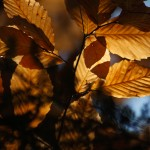 Beech Leaves in November Light