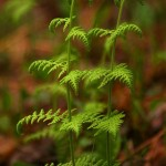 Fern Pair Symmetry