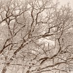 snow-covered oak branches