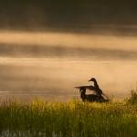2 Mallard ducks in early morning mist