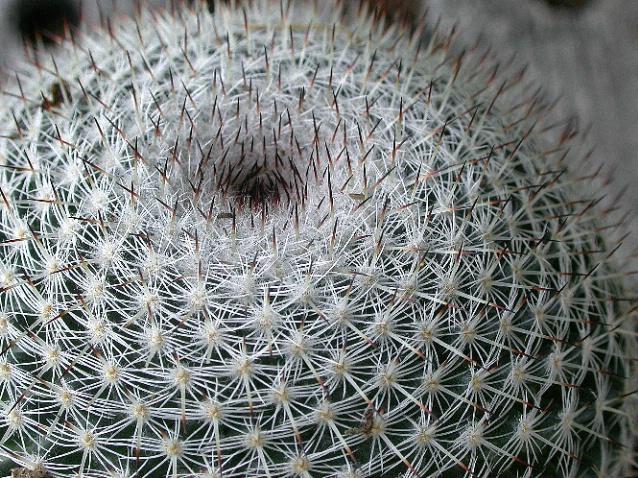 Cactus Spine Spirals