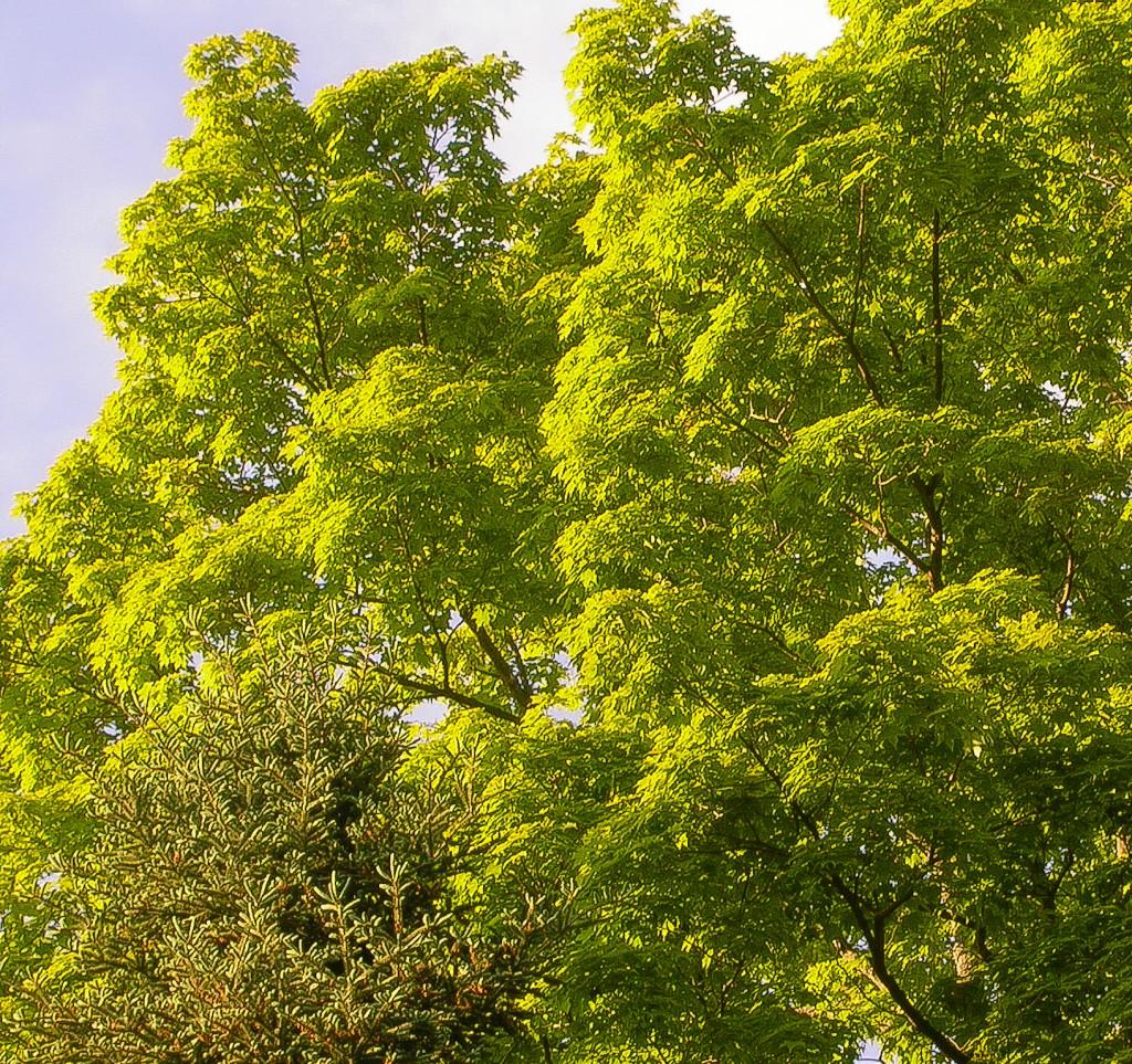 Emerald Spring Foliage