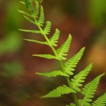 Fern Frond curve and Symmetry