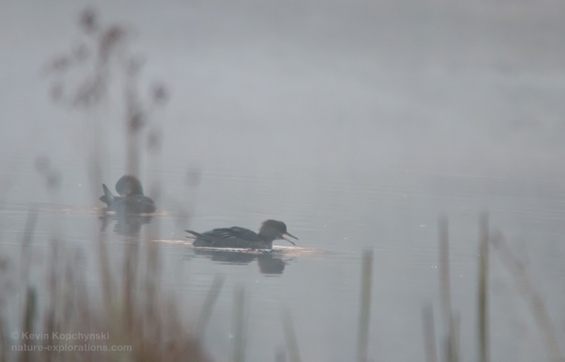 2 immature common mergansers on a misty pond