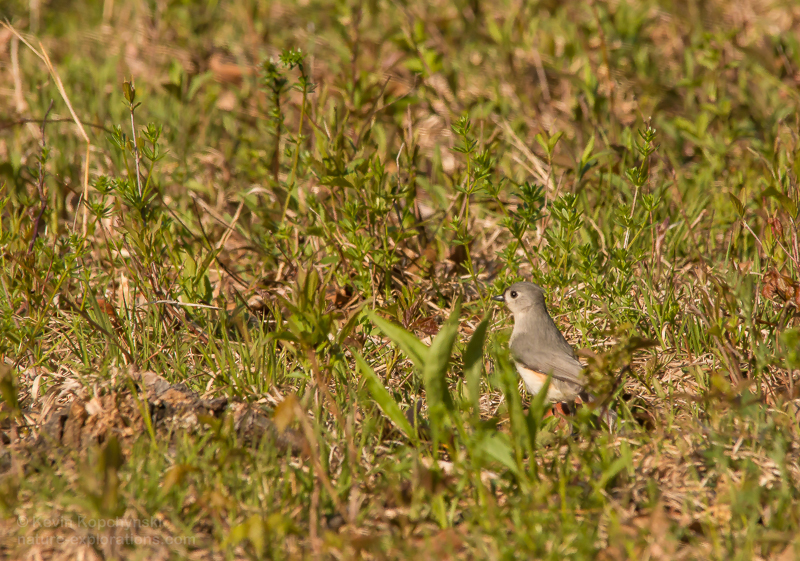Foraging titmouse