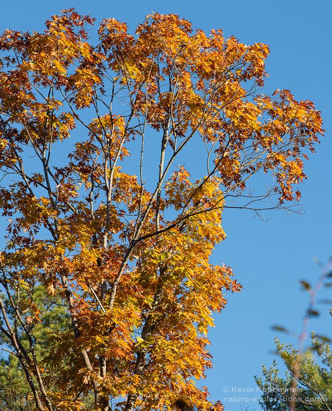 Mid-Autumn Golden Oak
