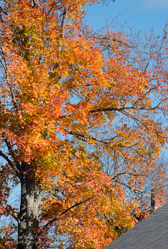 Late Color on a Sugar Maple