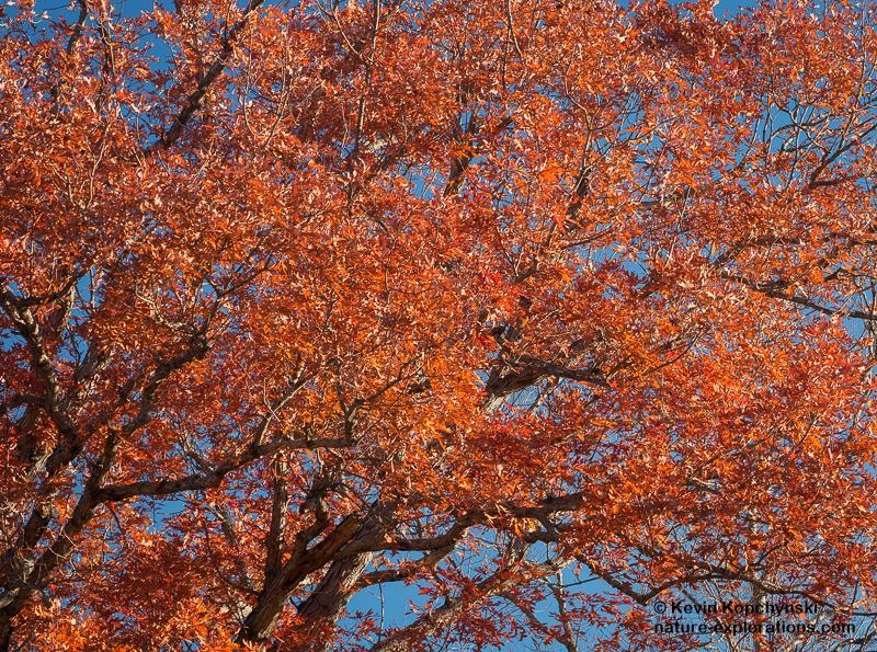 Oak Detail I