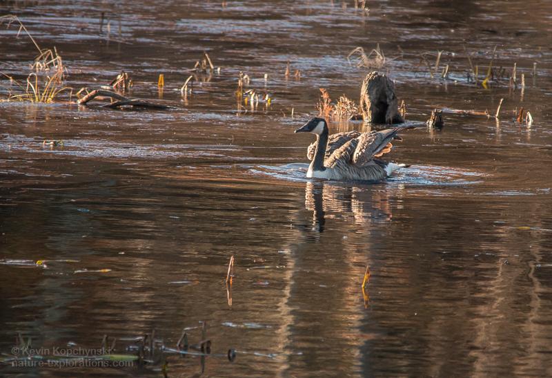Goose in Golden Late Autumn Light