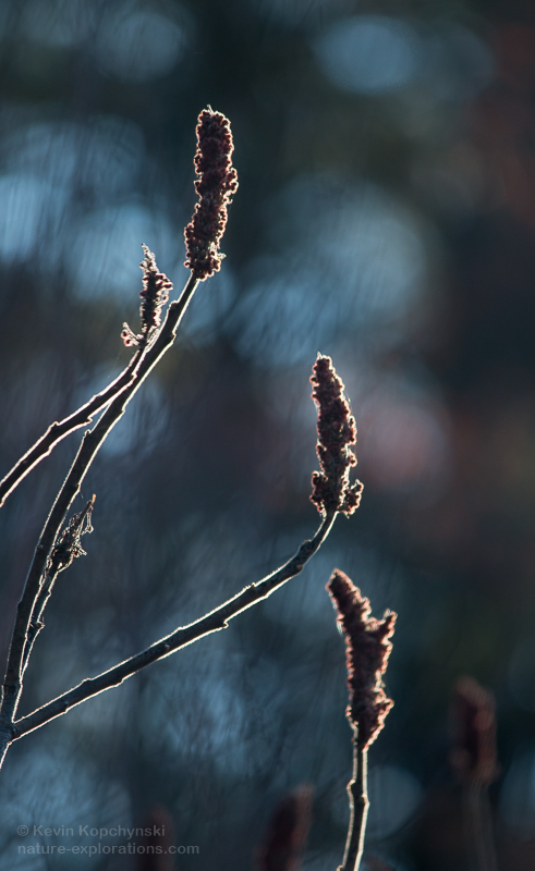 Backlighting on Sumac Fruits