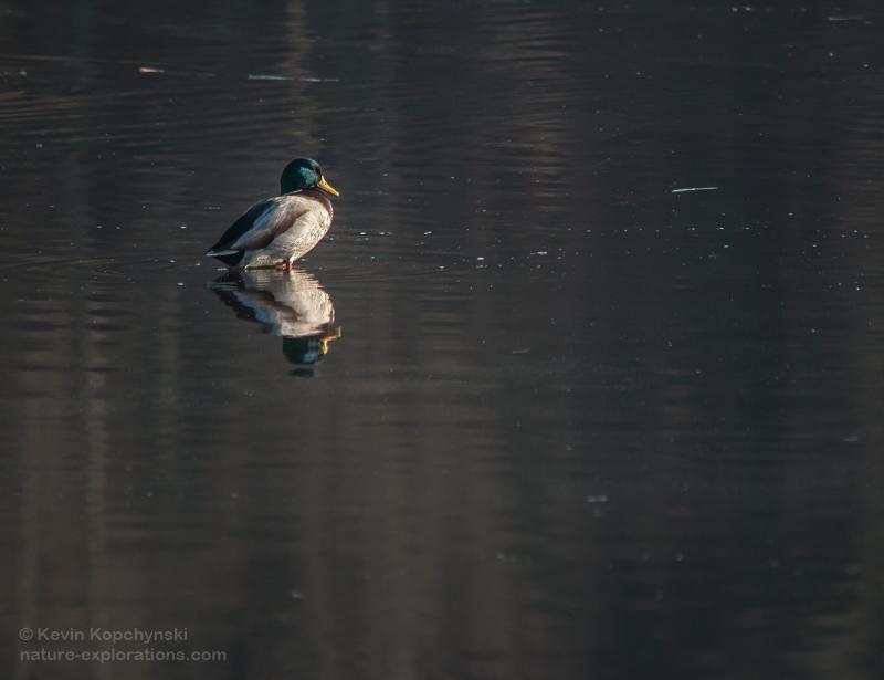 Mallard Male, November Morning Light