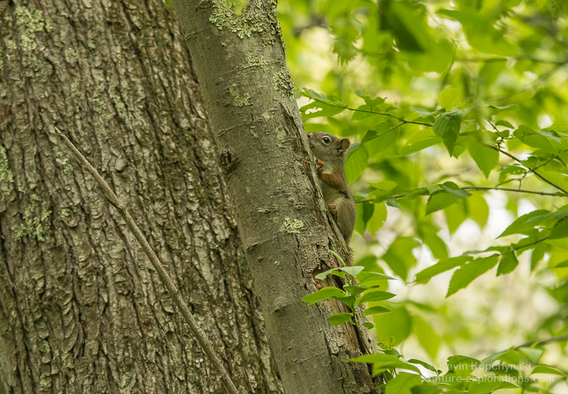 A red squirrel pausing on its way up a tree