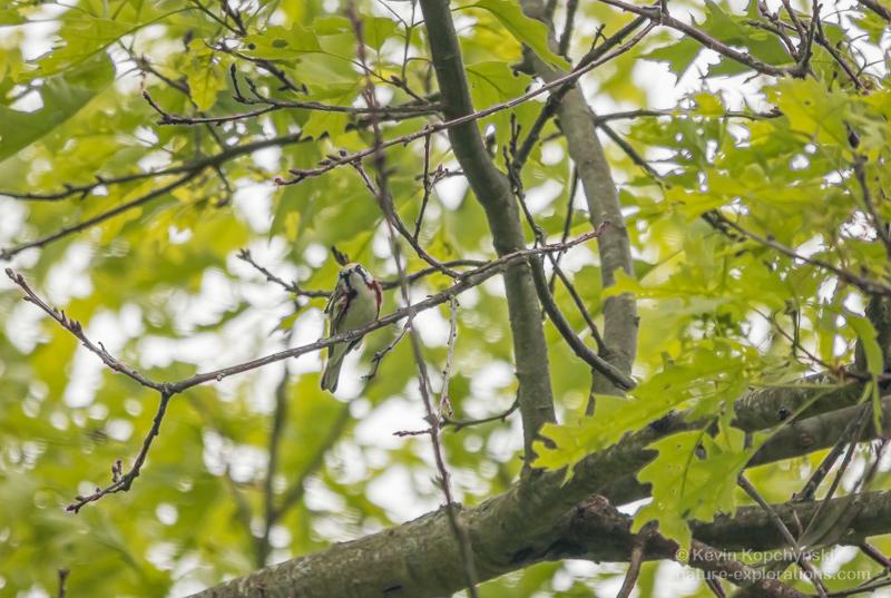 Chestnut-sided Warbler Staring Back
