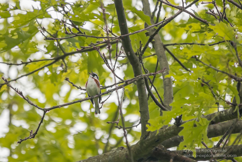 Chestnut-sided warbler singing