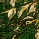 Sunlight on Blue-Winged Warbler