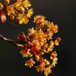 Spring Evening Light on Tree Flower