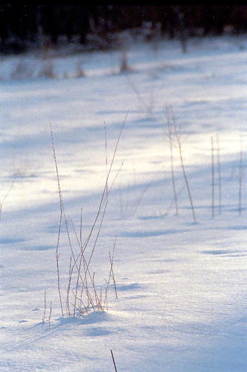Field Grasses in Winter Light