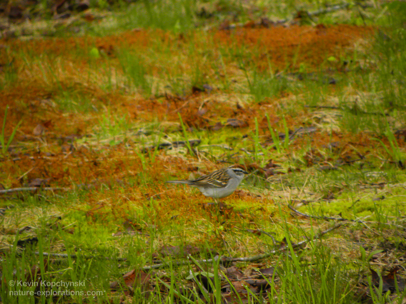 Chipping Sparrow at Laughing Brook