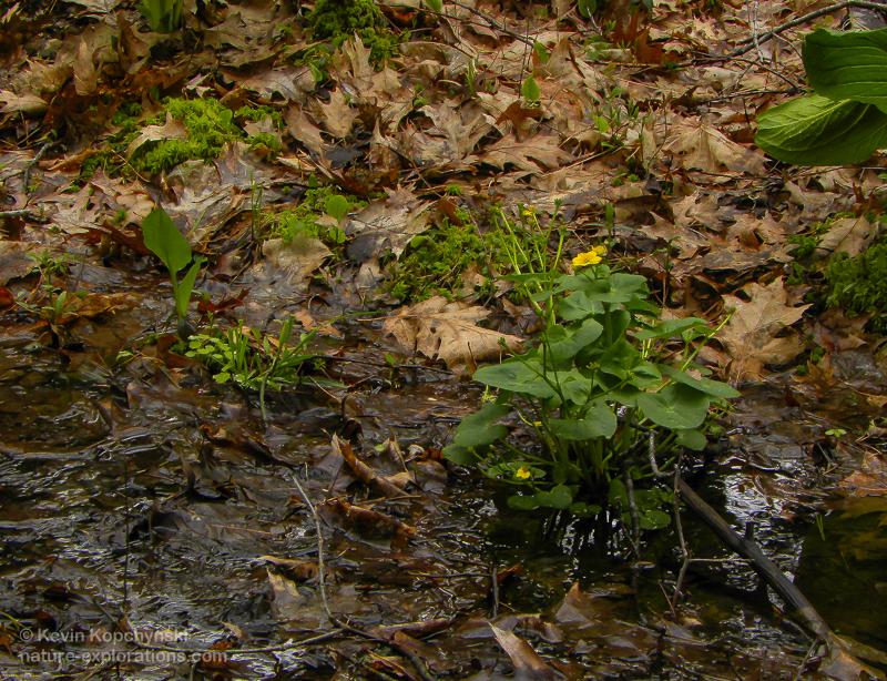 Marsh marigold at Laughing Brook