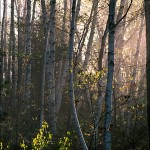 Birch Grove in Spring Morning Mist