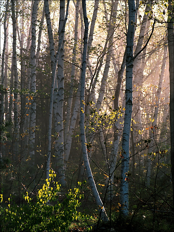 Birch Grove in Spring Morning Mist