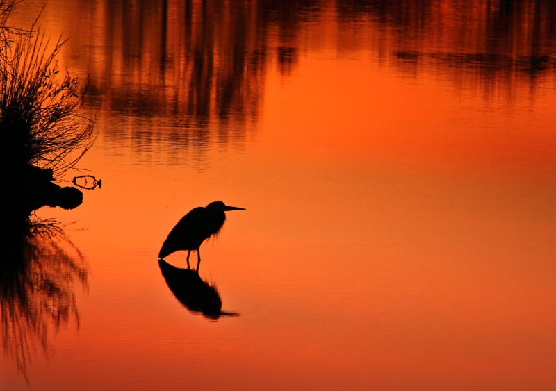 Egret in Breaking Morning Light