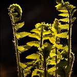 Fern in Spring Morning Light