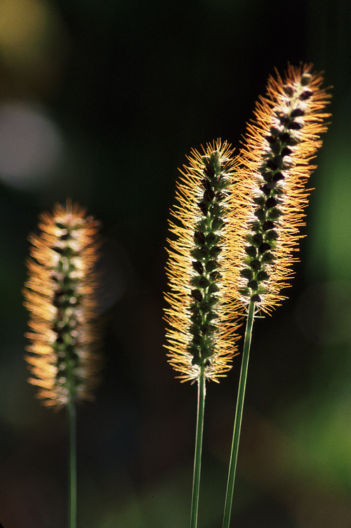 Autumn Light on Foxtail Grass
