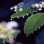 Jewelweed Water Droplets in Morning Light