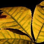 Autumn Hickory Leaves