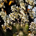 Shadbush Flowers in Spring Light
